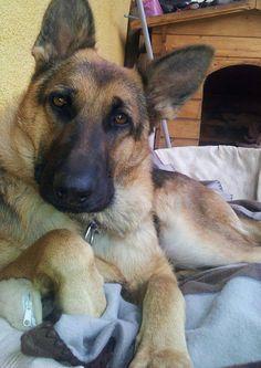 What? Check out my Facebook page dedicated to German Shepherds https://www.facebook.com/GermanShepherdDogFans