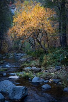 A beautiful tree by Oak Creek (Sedona, Arizona) by Michael Wilson Oak Creek Canyon Arizona, Sedona Arizona, Arizona Resorts, Lawn Sprinklers, Mulch Landscaping, Old Trees, Beautiful Gif, Tree Art, Amazing Nature