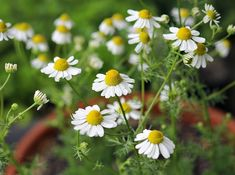 Chamomile is an awesome herb with many benefits for your health and for the garden. Learn all about the different uses of chamomile flowers and tea with these ten reasons to grow chamomile. Hydroponic Gardening, Hydroponics, Organic Gardening, Gardening Tips, Indoor Gardening, Chamomile Growing, Types Of Christmas Trees, Types Of Herbs, Garden Show