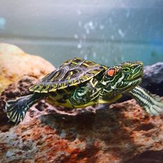 Make Sure You Pick a Healthy Red Eared Slider as a Pet