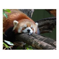 Snow Pictures, Animal Pictures, Sleeping Panda, Red Panda, Pet Gifts, Funny Cute, Custom Posters, Mammals, Animales