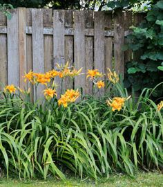 "Genus: Hemerocallis varieties  Zones: 3 to 9 Cost: From $4  Expert says: ""Daylilies are gorgeous and easy to divide. You can build a fine collection of colors and shapes by acquiring a few plants each year."" —Barbara Damrosch, farmer and author, Harborside, Maine"
