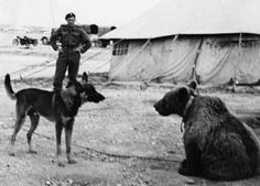 Wojtek the Polish Soldier Bear, already a very large cub, wonders whether his doggie friend might be a German Shepherd, North Africa, 1943.