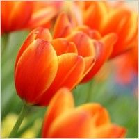 Orange Tulips With Open Buds wallpaper Red Tulips, Tulips Flowers, Flowers Nature, Bright Flowers, Orange Flowers, Flower Images, Flower Pictures, Beautiful Flowers Pictures, Hd Picture