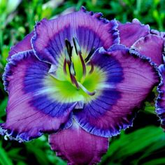 'Pacifica' Holy Cow this is an awesome day lily! Amazing Flowers, Purple Flowers, Beautiful Flowers, Daylily Garden, Blossom Garden, Exotic Plants, Day Lilies, Flower Pictures, Dream Garden