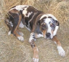 Bush the Louisiana Catahoula Leopard Dog is laying in hay and looking at the camera holder