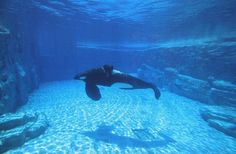 Tilikum, an example of the cruelty of captivity :( This needs to end.