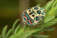 Picasso Bug (Sphaerocoris annulus) or Zulu Hud Bug, is a species of shield-backed bugs belonging to the family Scutelleridae.They also emit a noxious odour when disturbed. Picasso, Cool Insects, Bugs And Insects, Beautiful Creatures, Animals Beautiful, Cute Animals, Baby Animals, Insect Photography, Animal Photography