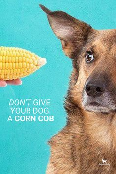 Corn on the cob can be very dangerous for your dog.   Here's why ...