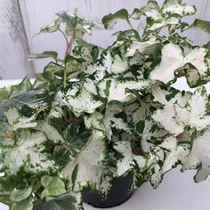 Buy variegated ivy Hedera helix 'White Wonder': Delivery by Crocus