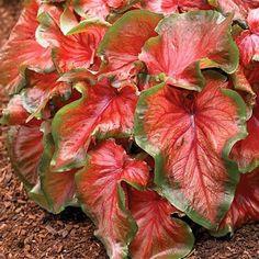 Red Ruffles Dwarf Caladium