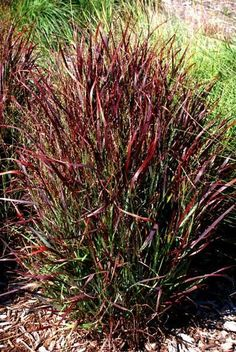 Ornamental Grasses are an essential addition to any Long Island landscape. Salt-tolerant, deer-resistant, low-maintenance plants; ornamental grasses offer multi .Delivery available to New York, New Jersey, Connecticut & Long Island. Shop Now!