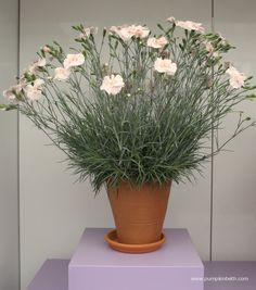Dianthus (Allwoodii Group) Tequila Sunrise. 'Wp15 Pie45' (Cocktails Series)