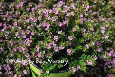 "Dwarf False Heather, 6""x8""w, full sun to partial shade, afternoon shade is ideal."