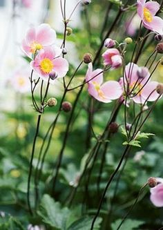 Japanese Anemones - I love this Autumn flower Dream Garden, My Flower, Garden Inspiration, Garden Plants, Garden Landscaping, Perennials, Pink Flowers, Outdoor Gardens, Planting Flowers