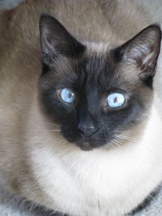 Beautiful Burmese Kittens For Sale Trade Me pussy cats