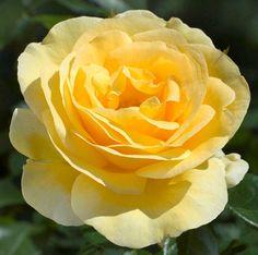 Walking on Sunshine - Floribunda, medium yellow, 25-30 petals, 2011, rated 7.9 (very good) by ARS.