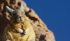 常に眠そうなアンデス山脈に生息するビスカッチャというなんとも癒し系なアニマルが話題。疲れも癒やされるほのぼのした姿をご覧あれ♡