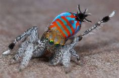 """Two gorgeous new species of peacock spiders nicknamed """"Skeletorus"""" and """"Sparklemuffin"""" have been discovered in Australia."""