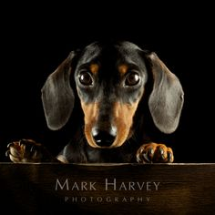 Dachshund by Mark Harvey  Dog Photography, Pets, Animals, Character, Art, Uk Animal Photographer, Refined Equine Portraiture.