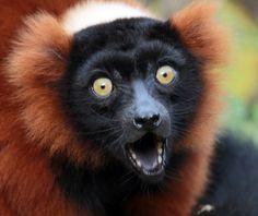 Red Ruffed Lemur (Varecia variegata rubra)