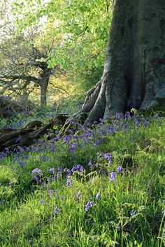The Bluebells Are Back - Stephen Earp