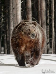 (44) Monerah AbdAllah (@MonerahChita) / Twitter Nature Animals, Animals And Pets, Cute Animals, Wild Animals, Baby Animals, Bear Pictures, Animal Pictures, Ours Grizzly, Grizzly Bears