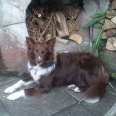 Belle, red and white border collie.