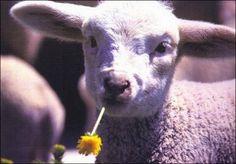 little lamb enjoy spring - Desktop Nexus Wallpapers Animals Beautiful, Cute Animals, Easter Wallpaper, Easter Lamb, Sheep And Lamb, Goats, Photos, Lambs, Jehovah's Witnesses