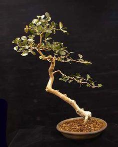 Guava (Psidium sp.) bonsai and photograph by Jerry Meislik