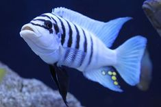 "Metriaclima sp. ""Zebra Chilumba"" (Maison Reef) this is a stunning fish!"