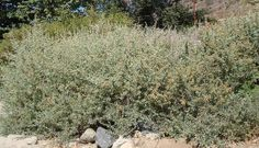 Botanical:  Atriplex lentiformis Breweri; Common:  Brewer's saltbrush, big saltbush, quail brush  - Native in coastal CA. to 100 mi inland. Very alkali tolerant. Good for wind breaks, borders, and range mgmt. Not a beautiful plant (A. canescens looks better) but will survive on 5-10 inches of rainfall in full sun and poor soil. All of the plant is edible, young shoots suitable for greens. Indians used for salty taste. Quail and other birds use seeds for food, foliage for habitat.