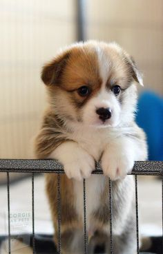 Baby Corgi, Cute Corgi Puppy, Corgi Dog, Pet Dogs, Weiner Dogs, Cute Baby Dogs, Cute Little Puppies, Cute Dogs And Puppies, Cute Baby Animals