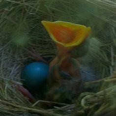 Hungry baby robin on my window sill.