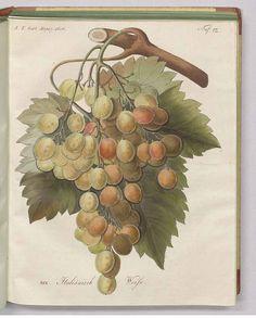240333 Vitis vinifera L. [as Italiänisch Weiss]  / Allgemeines teutsches Garten-Magazin, vol. 3: t. 12 (1806)