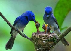 Maybe not Blue birds; but they are blue birds...