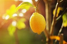 Photo about Ripe lemon hangs on tree branch in sunshine. Image of bright, nature, agriculture - 18202459 Limoncello Cocktails, Permaculture, Natural Skin Care, Natural Health, Natural Cures, Agriculture, Lemon Health Benefits, Cocktail Making, Cancer Cure