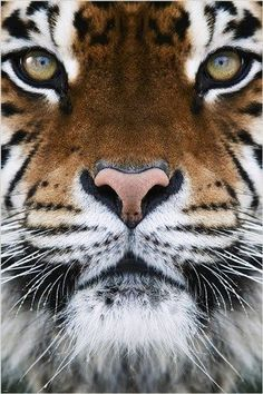 RARE ANIMAL PHOTO POSTER beautiful tiger face FAVE WALL DECOR wild cat 24X36