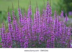 lythrum dropmore purple - Google Search