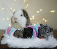 The only Registered charity supporting guinea pigs, in Hunsbury, Northampton. Registered Charity Number: 1168004 Providing life-enhancing care for Guinea P Baby Guinea Pigs, Guinea Pig Care, Cute Baby Animals, Animals And Pets, Funny Animals, Hamsters, Rodents, Guniea Pig, Cute Piggies