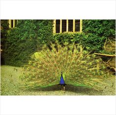 Peacock displaying at Gwydir Castle Llanrwst Wales Collectable Unused Postcard