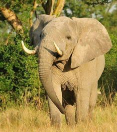 Donate and Help Save Wildlife Elephant Pictures, Funny Animal Pictures, Big Animals, Animals Of The World, Wildlife Conservation Society, Save Wildlife, Elephant Sanctuary, Extinct Animals, Elephant Love
