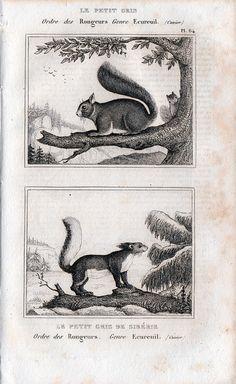 1835 antique SQUIRREL engraving by Buffon by TwoCatsAntiquePrints