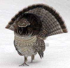 Pennsylvania's State Bird is the Ruffed Grouse Grouse Hunting, Pheasant Hunting, Vida Animal, Mundo Animal, Pretty Birds, Beautiful Birds, Animals Beautiful, Kinds Of Birds, Game Birds