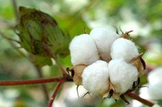 Planta de cotó / Cotton plant