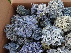 Dried Hydrangeas  Floral Supplies  Blue Hydrangeas  Dried Flowers  Wedding Supplies  Floral Supplies  Hydrangeas by donnahubbard on Etsy