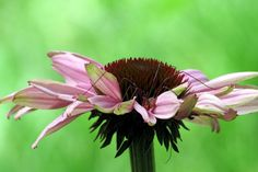 Echinacea with a Daddy Long Legs