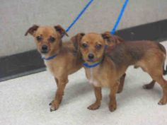 Pet ID: A1370715  Sex: M Age: 1Year 1Month  Color: TAN - BLACK  Breed: CHIHUAHUA SH - MIX  Kennel: 010