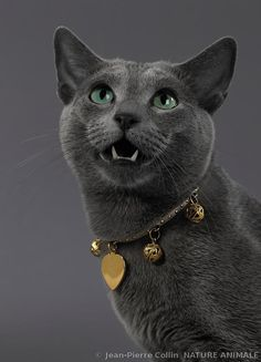 Portrait of a Russian Blue cat with collar