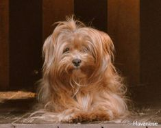 All About Havanese Erziehung Havanese Puppies, Cute Puppies, Cute Dogs, Dogs And Puppies, Yorkies, Puppy Mix, Dog Games, Companion Dog, Fluffy Dogs